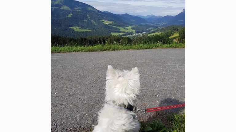 White Westie Amy on vacation in Austria
