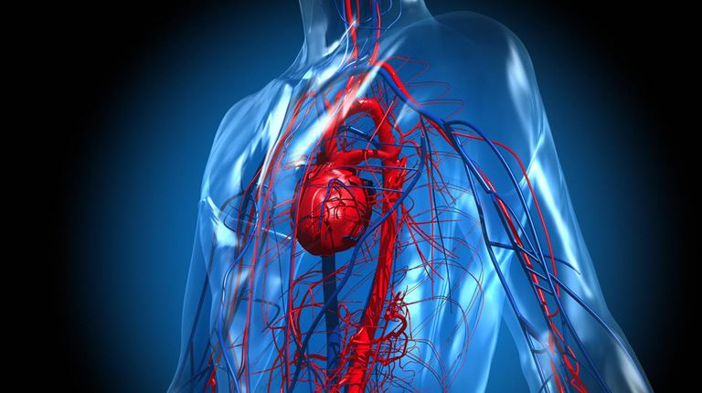 illustration of the heart and cardiovascular system